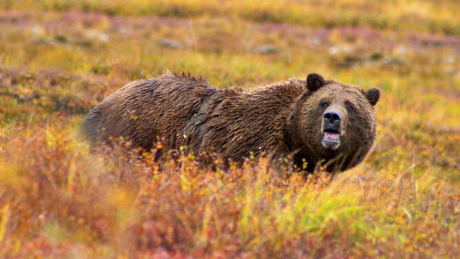 Polowania na grizli w Yellowstone nie będzie. <br />Wrócą na listę gatunków zagrożonych