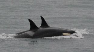 """""""Żałobna podróż"""" orki Tahlequah dobiegła końca"""