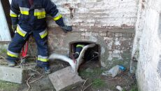 Bocian w tarapatach. Utknął w kominie gorzelni (OSP Przelewice)