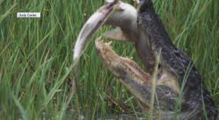 Aligator zjada również zwierzęta morskie
